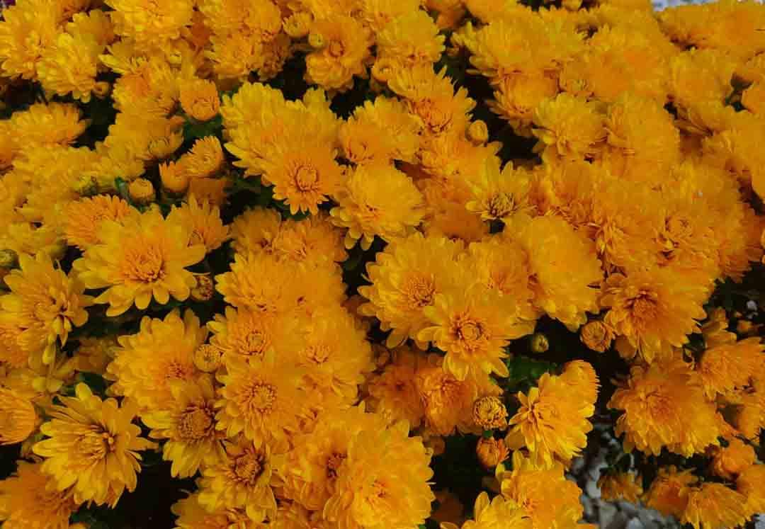 хризантемы бал