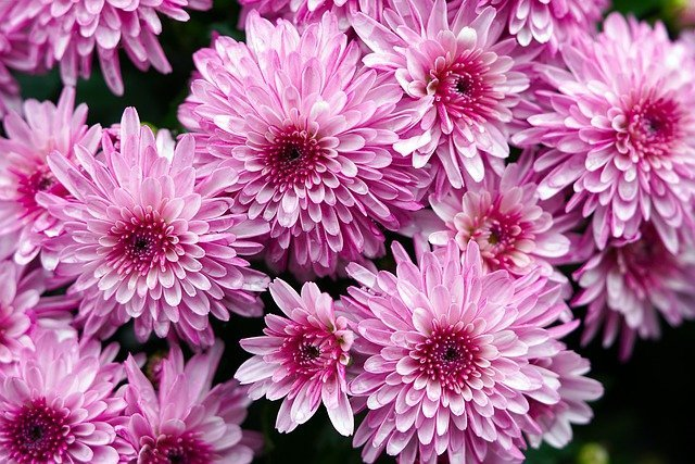 chrysanthemums-6627183_640